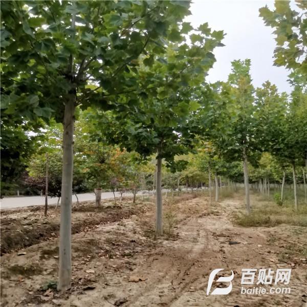 出售多规格法桐  绿化苗木 价格从优图片