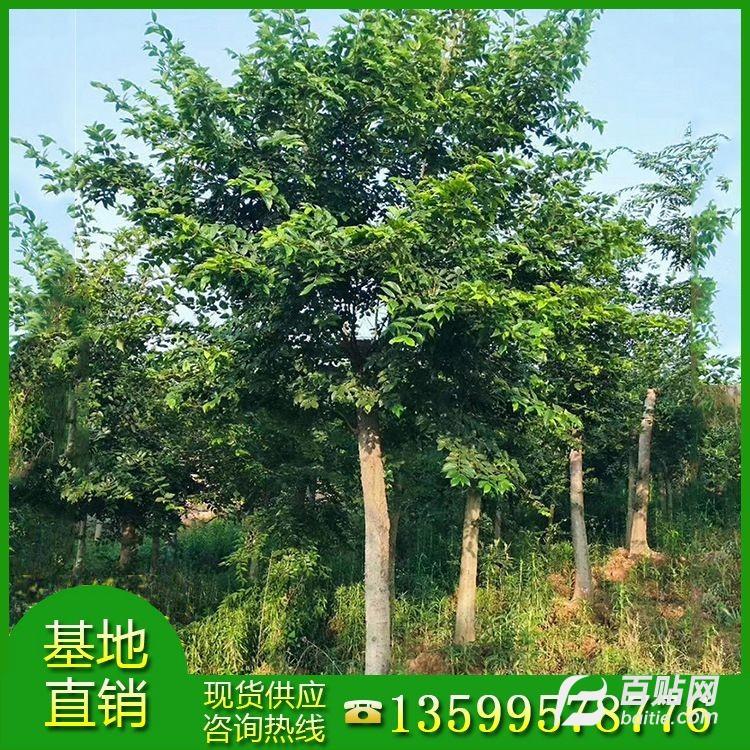 供应朴树米径25公分地苗 生产基地 精品朴树袋苗 假植苗批发价出售图片