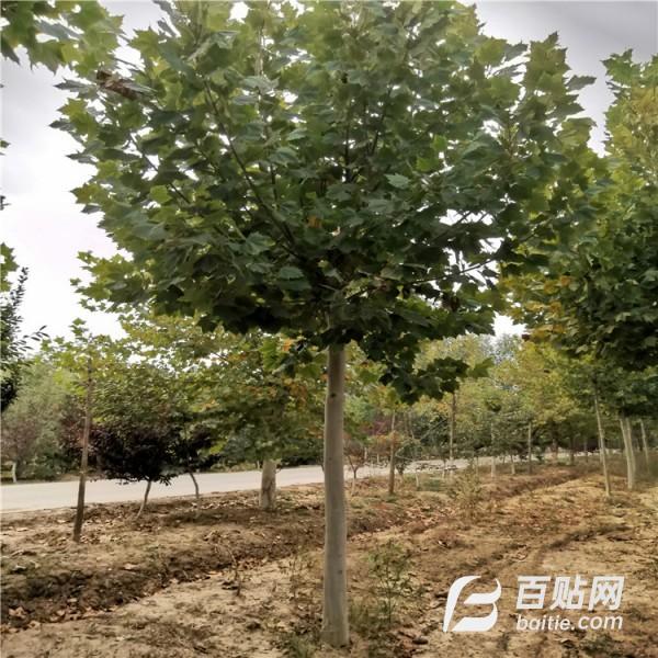 园艺场出售多规格法桐  绿化苗木图片