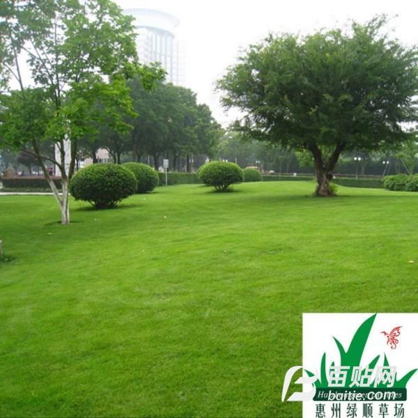 出售台湾草草坪种子 台湾草草籽  台湾青草种图片