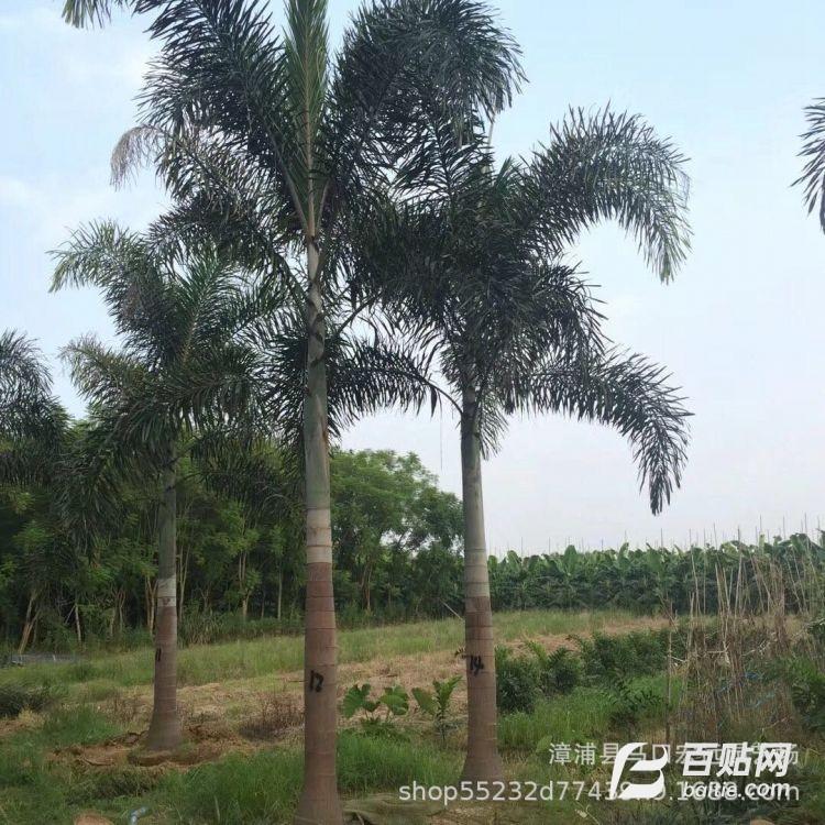 狐尾椰子专业种植大户 现货供应狐尾椰子8000棵 产地直销物美价廉图片