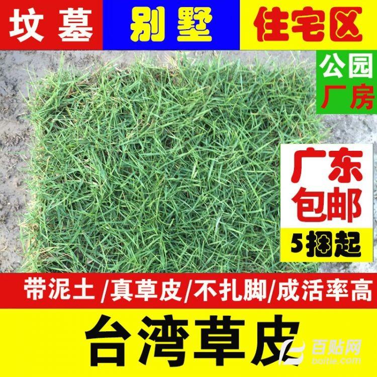 室外带泥土真草卷真草坪 台湾草皮庭院公园别墅专用图片