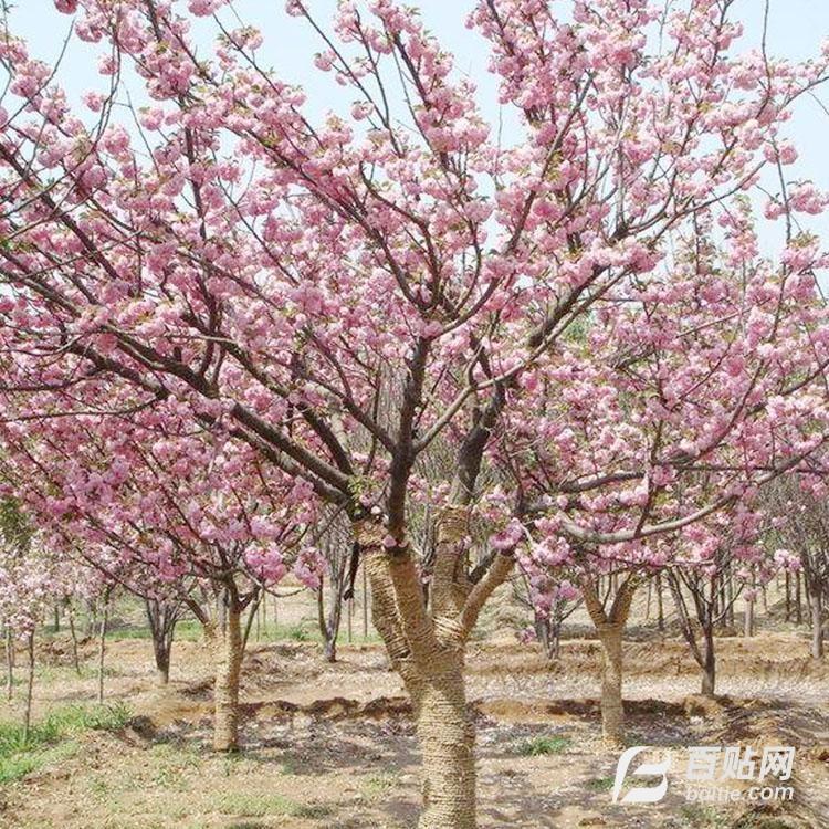 乌兰察布8公分高杆樱花厂家直销  钰源苗木 10公分樱花树图片