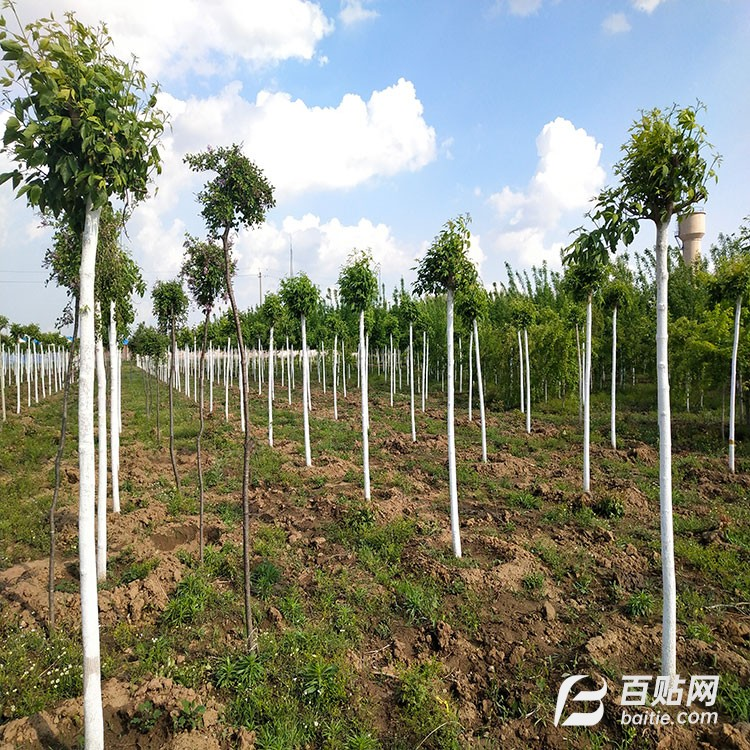 糖槭 厂家直销糖槭树苗 重要的用材树种图片