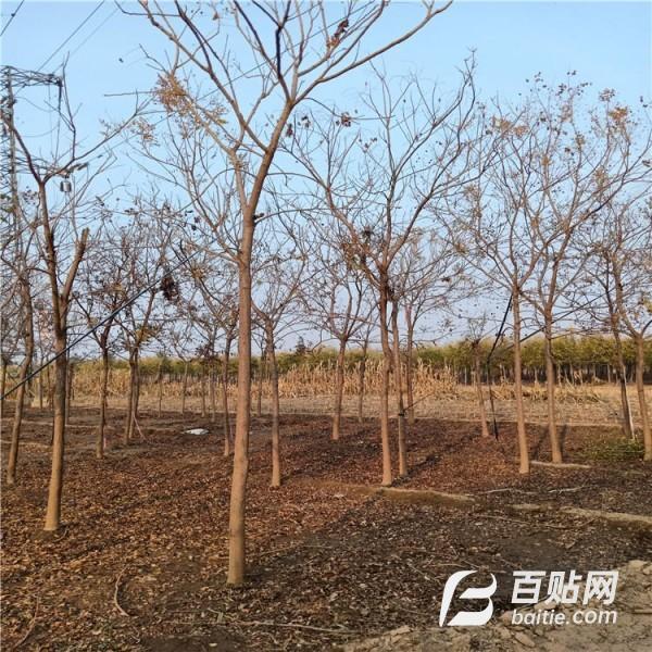 供应:栾树小苗,北栾苗木,价格低廉,质量可选图片