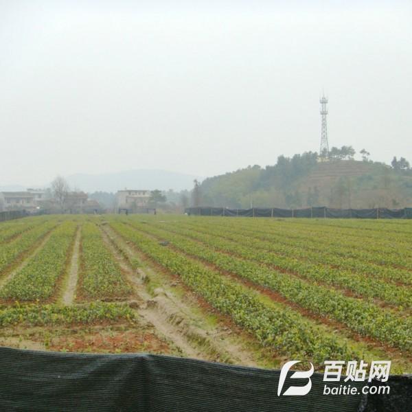长期供应高产油茶树苗木嫁接术 油茶芽苗砧 油茶芽苗砧批发图片