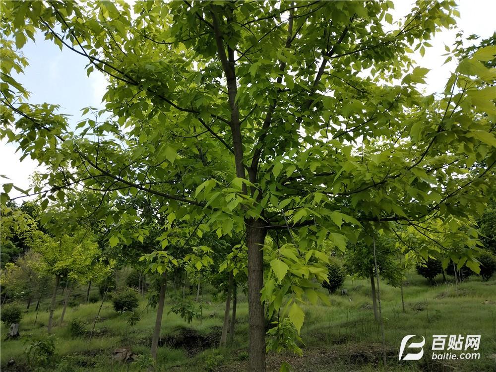 大量批发金叶复叶槭 复叶槭 金叶糖槭树图片