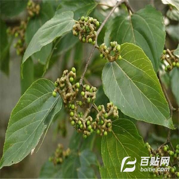 厂家直销 陕西拐枣枳椇乔木 枳椇灌木绿华乔木品质保证 售后无忧图片
