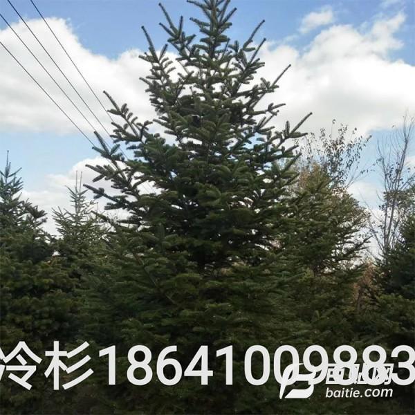 冷杉树价格 冷杉树批发 1-8米 精品树形 量大优惠图片