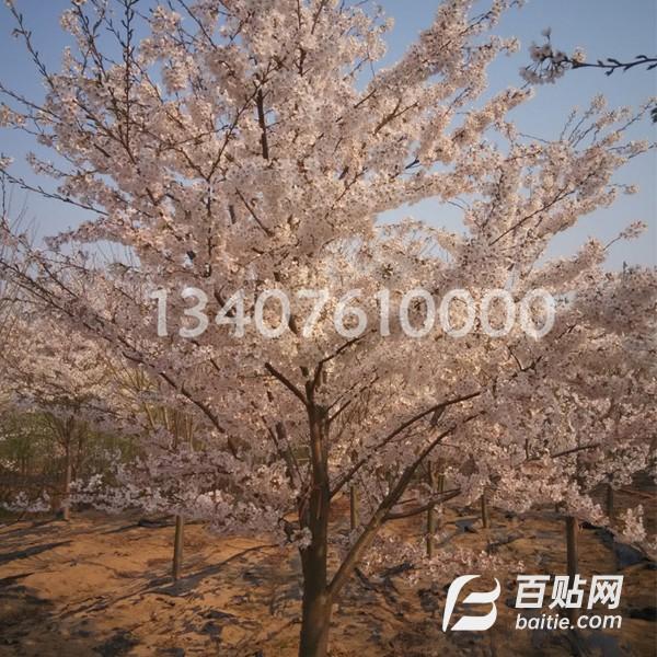 四川重庆现货供应1.1米高杆染井吉野樱 价格 高干染井吉野樱花市场行情 种植基地图片