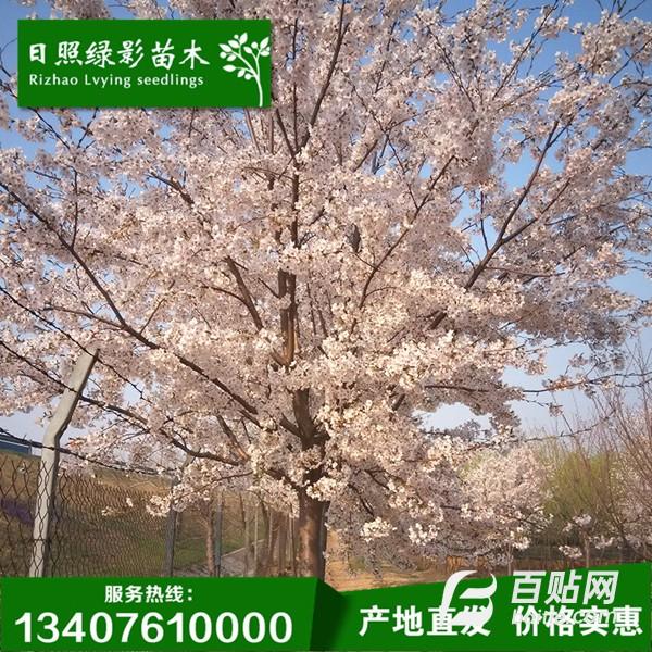 陕西现货供应1.3米高杆染井吉野樱 价格 高干染井吉野樱花市场行情 种植基地图片