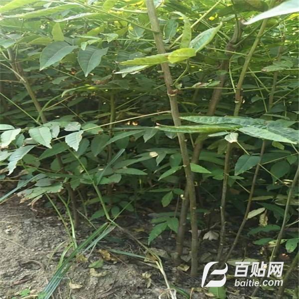 1公分香椿苗现货 香椿树苗--泰盈园艺图片