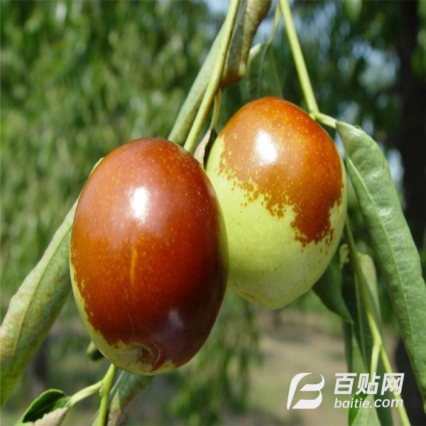 2年枣树供应商 5公分枣树苗  泰盈园艺图片