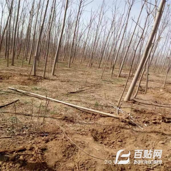 泰盈苗木--香椿苗基地  香椿苗图片