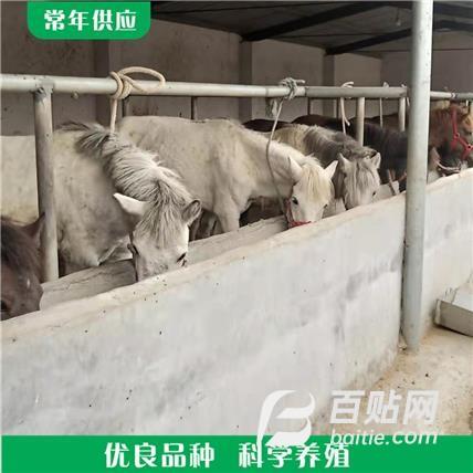 厂家供应活体小矮马 骑乘马养殖 纯种半血小矮马图片