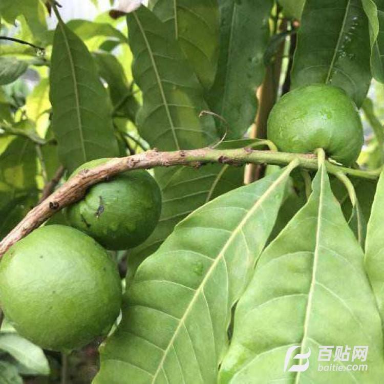 广东黄晶果种植基地 广东黄晶果树苗批发 四季开花结果 益达红果苗图片