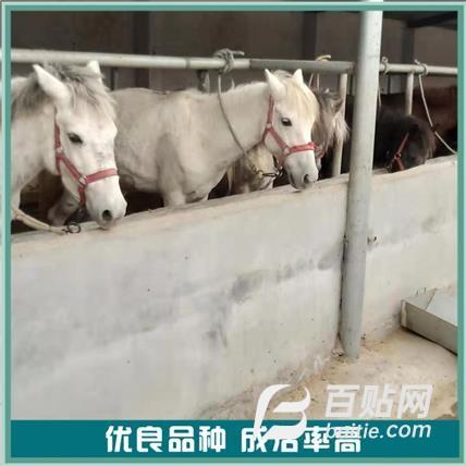 矮马养殖场 骑乘养殖矮马 改良矮马 销售价格图片