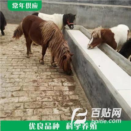 纯种矮马 骑乘马养殖 成年骑乘马销售价格图片