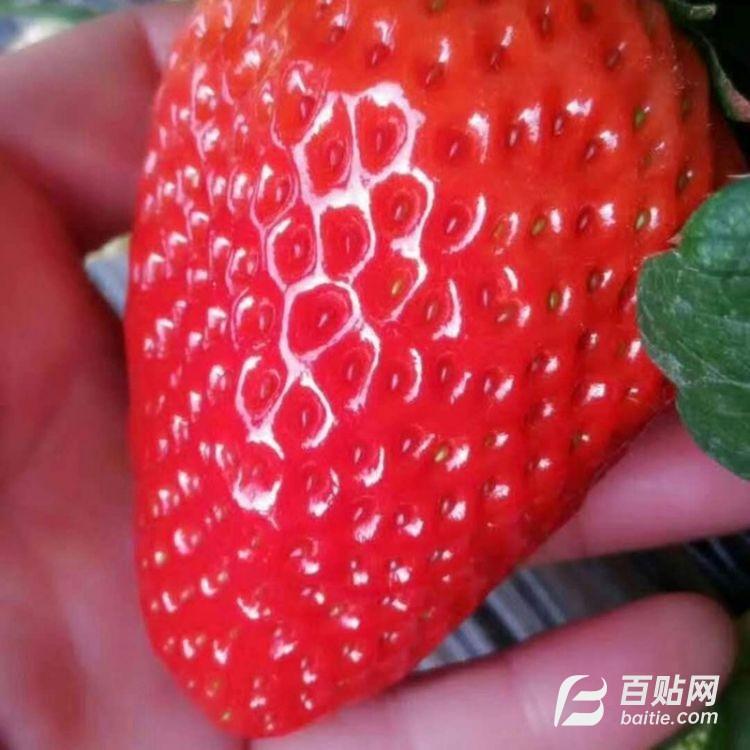 苗圃直销章姬草莓苗 长期发货品种纯草莓苗 易成活南北方种植图片