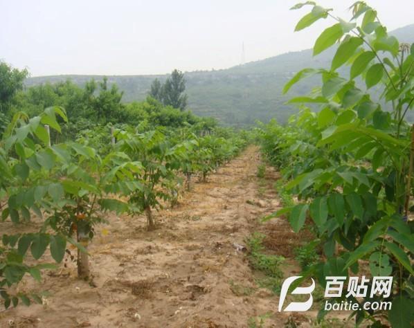 薄皮核桃苗 大小规格核桃树 占地核桃树产地图片