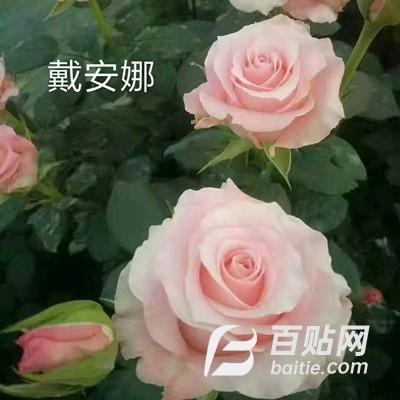 云南斗南花苗 戴安娜玫瑰种苗  花卉月季批发 基地直发图片