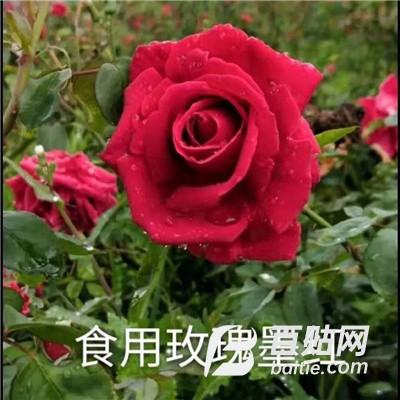 可食用玫瑰墨红 云南种苗 墨红月季 量大价优图片