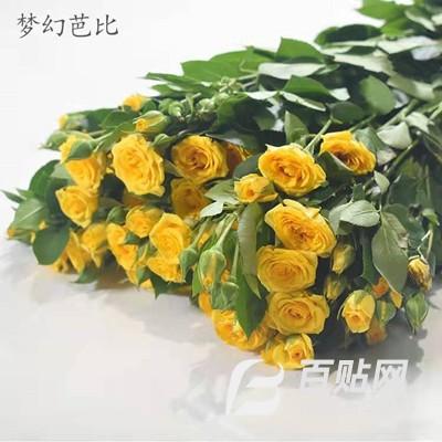 长期供应 玫瑰花苗 梦幻芭比小苗 昆明种苗价格  基地直发图片