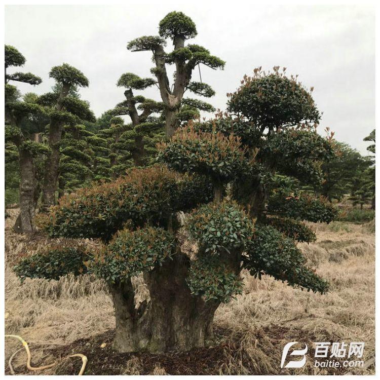 湖南苗圃基地造型石楠胸径5-15cm 庭院绿化造型石楠树图片
