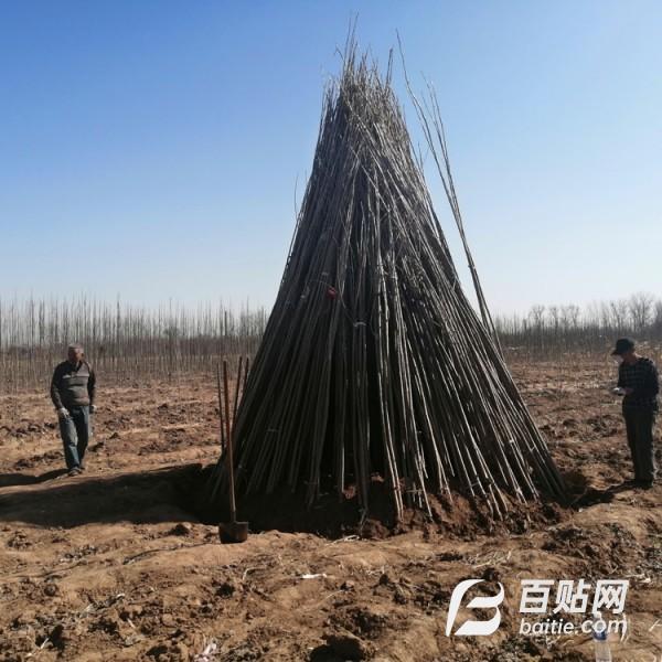 河北省廊坊市杨树苗价格107杨树苗种植图片