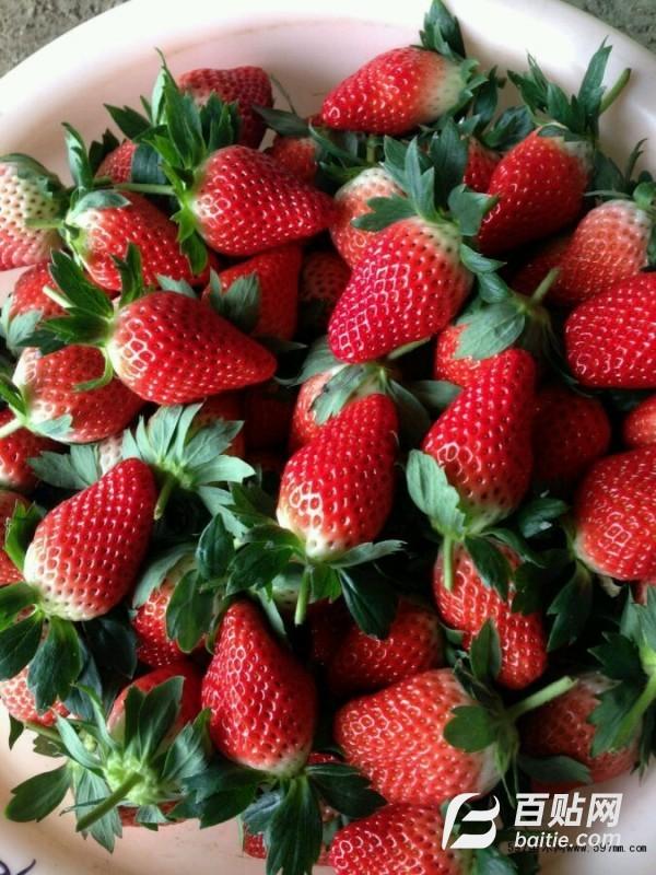 巧克力草莓苗 香蕉草莓苗价格 脱毒新品种草莓苗 批发桃熏草莓苗图片