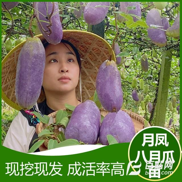 月凤八月瓜苗供应图片