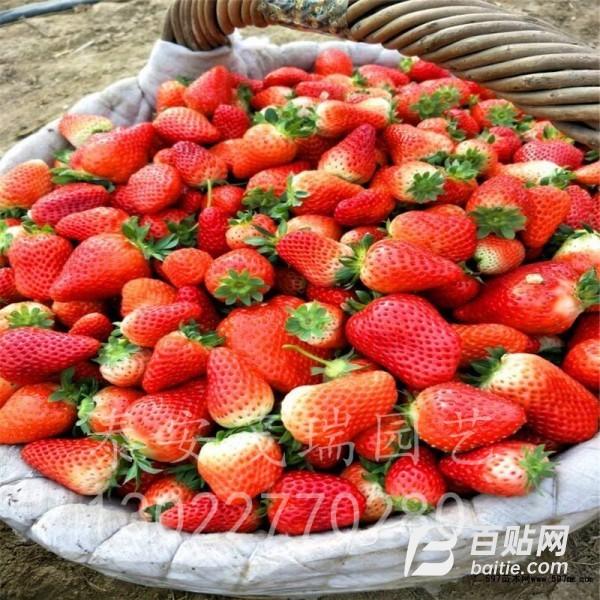 牛奶草莓苗基地大量出售 甜宝草莓苗价格 章姬草莓苗批发基地图片