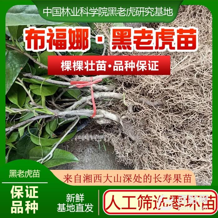 黑老虎长寿果苗图片