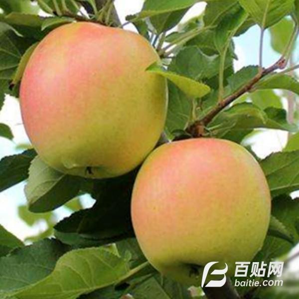 山东苹果基地大量批发 规格多样嫁接水蜜桃苹果树 苹果树价格图片