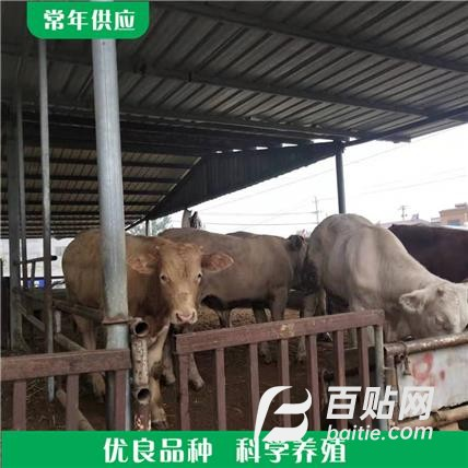 纯种夏洛莱牛牛犊 夏洛来牛养殖 活体夏洛来牛销售报价图片