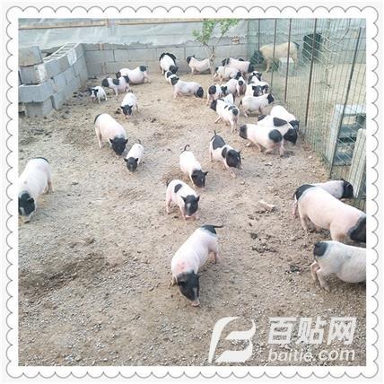 巴马香猪特种养殖 纯种巴马香猪 巴马香猪苗活体 品质专注图片