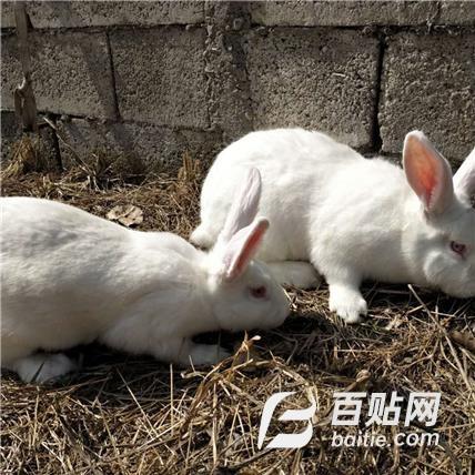 特种养殖合作社 常年供应实验动物新西兰 兔种兔实验兔大白兔图片