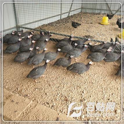 珍珠鸡鸡苗 脱温珍珠鸡苗 特种养殖活体珍珠鸡 厂家直销图片