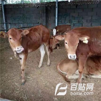 批发鲁西黄牛肉牛 金起特种养殖图片