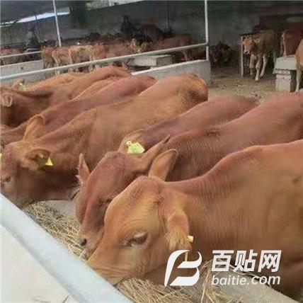 一头牛犊 农业其他特种养殖动物图片