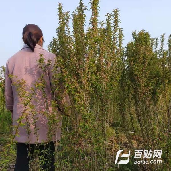 瑞鹏园林  批发榆叶梅  郁李球苗  供应价格图片