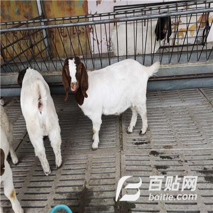 圈养波尔山羊 金起特种养殖   纯种波尔山羊苗图片