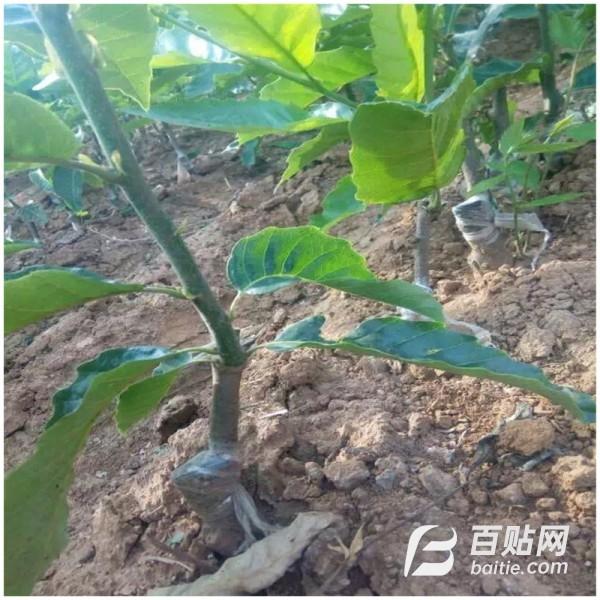 直销板栗苗 产量高 果树苗 栗子苗 良种板栗树苗 挂果多品种全图片