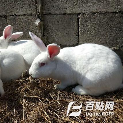河南种兔特种养殖合作社 常年供应比利时种兔 新西兰种兔 公羊兔 伊拉兔图片