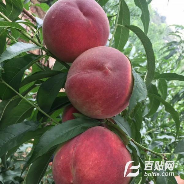 延兴现货出售桃树苗 当年结果地栽盆栽嫁接苗量大优惠 桃树苗图片