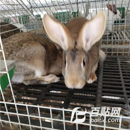 特种养殖合作社 常年供应比利时种兔 农村养殖种兔赚钱好项目图片