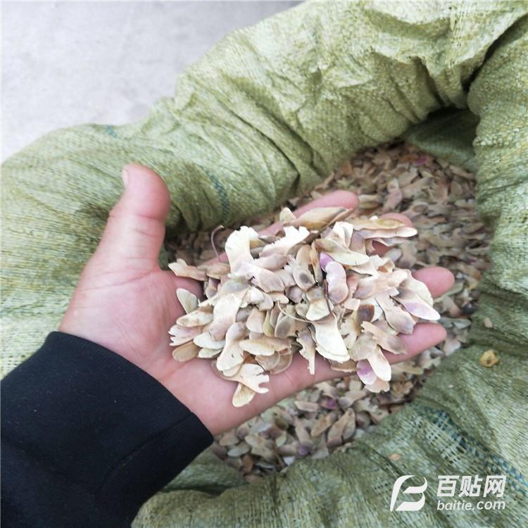五角枫种子(籽) 发芽率高 无虫眼 精选五角枫种子价格图片
