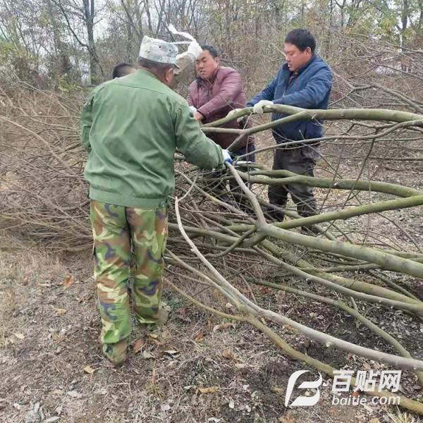 瑞鹏园林 丛生朴树价格 基地常年供应大朴树苗木 基地生产图片