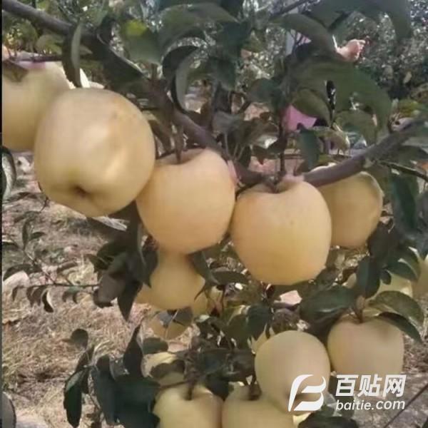 水蜜桃苹果苗新品种高产红星苹果苗现挖现卖 价格低富士苹果苗图片