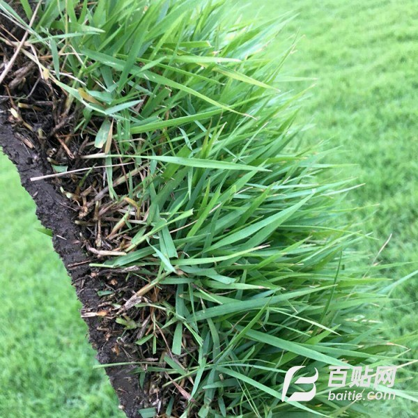 百慕大草坪基地批发绿化工程结缕草真草皮图片